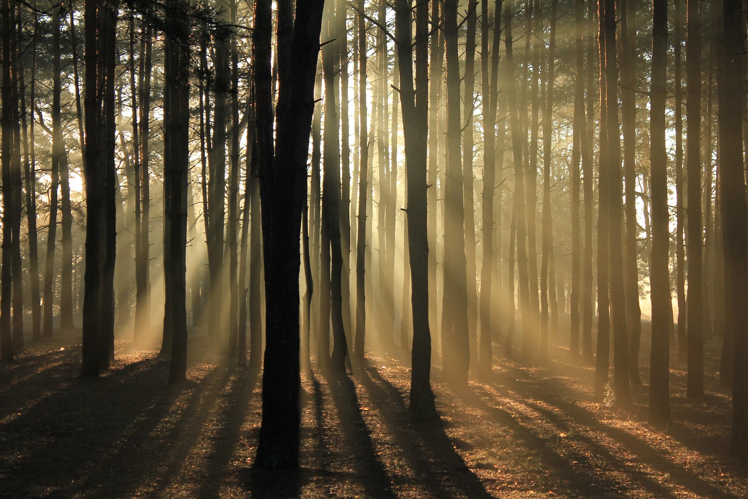sunlight throuigh forest